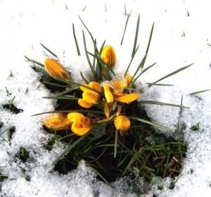 gelbe Krokusse im Schnee