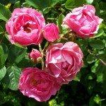 pink_rose